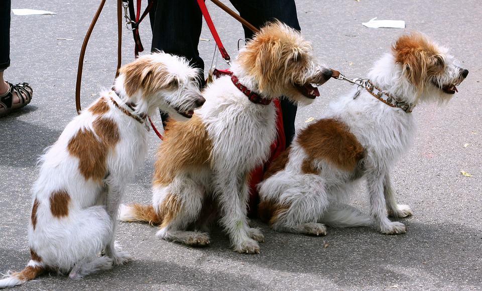 כלבים. אילוסטרציה
