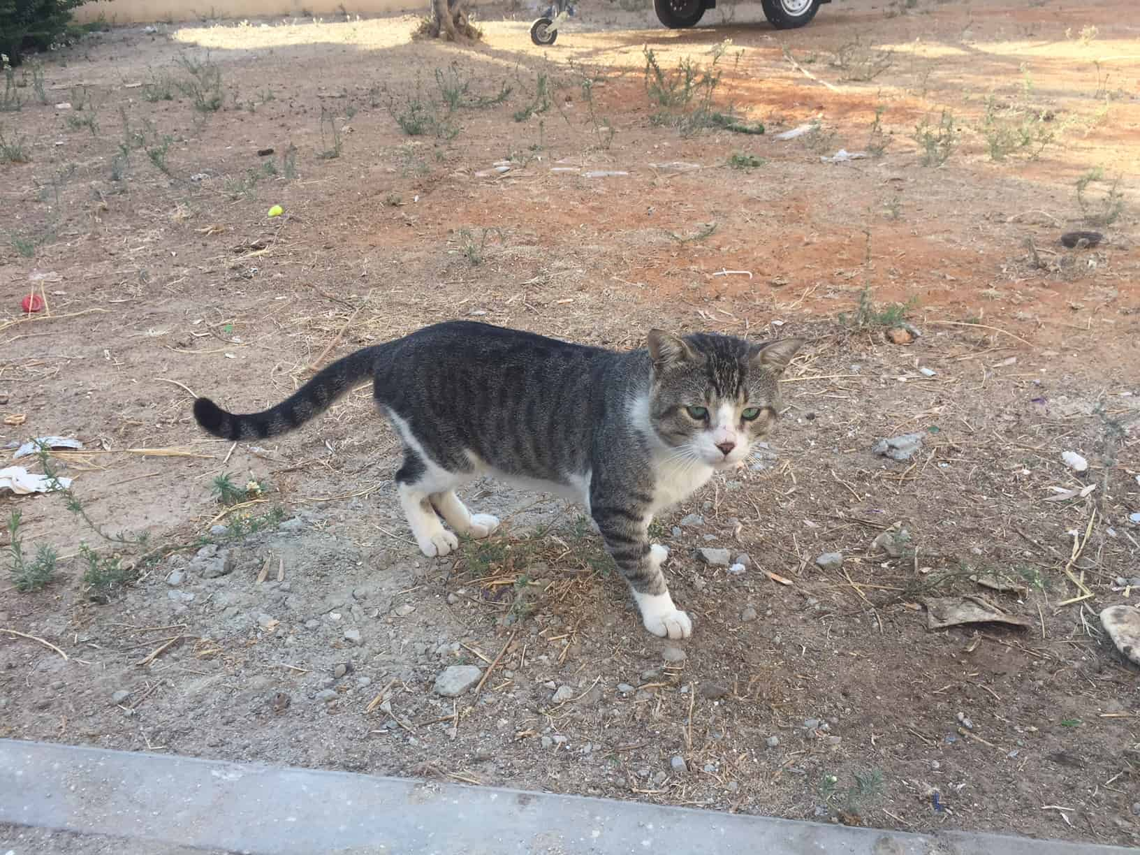 חתול רחוב. אילוסטרציה