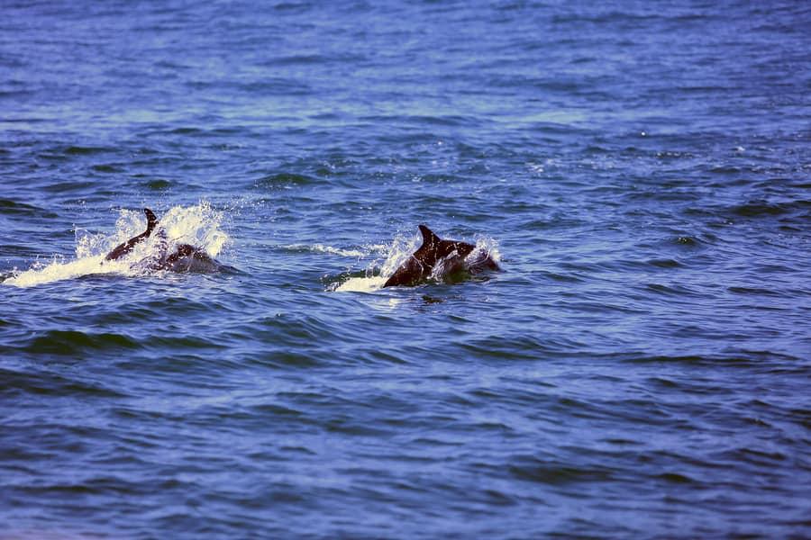 דולפינים בבת ים